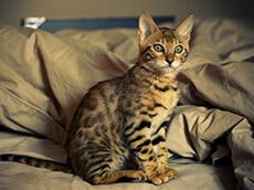 Bengal Kittens for Sale | San Jose Bengal Cats - San Jose