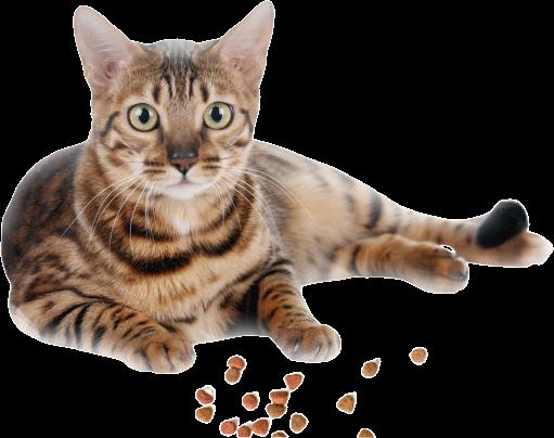 San Jose Bengal Cats - San Jose Bengal Cats Breeder